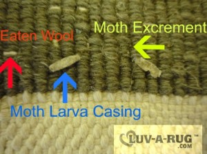 This pictures shows damage of  Moth at the back of wool rug