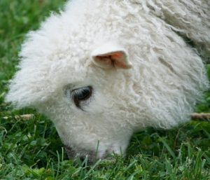 Sheep with fine wool grazing grass