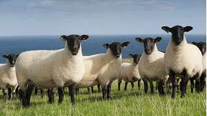 Sheep grazing in the grass