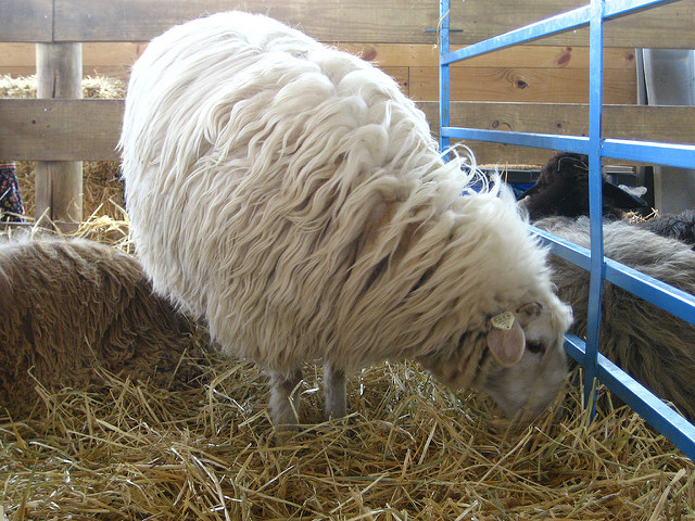 Sheep Grazing Grass