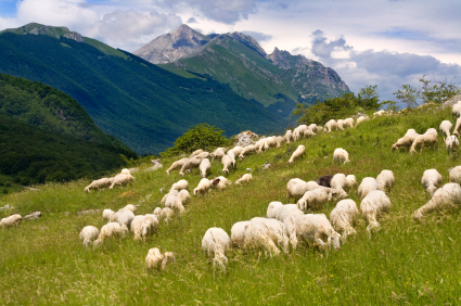 Sheep Crazing in Mountains