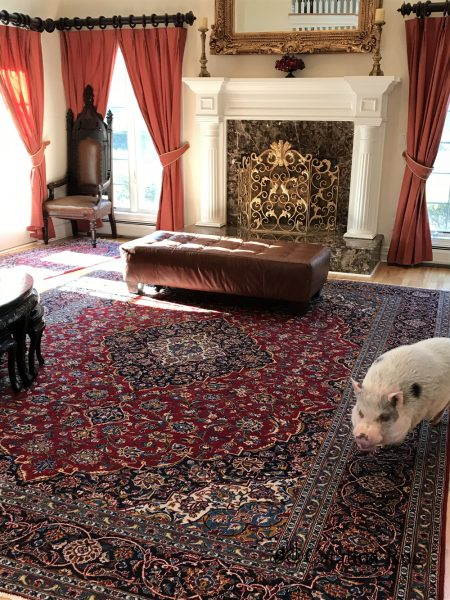 Duffy the Pig on a Persian Rug